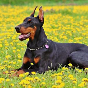 Dog breeds considered potentially dangerous